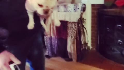 Feisty dog attacks the vacuum, dad figures out a quick fix