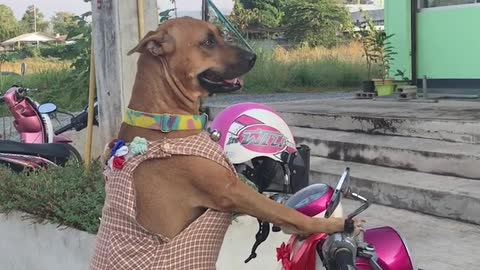 Dog Perches on Motorcycle