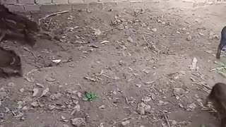 Baby wild boars fighting