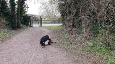 Stubborn Bernese Mountain dog refuses to leave the park