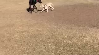 Great Dane Playing with 5-Month Old Golden at Park