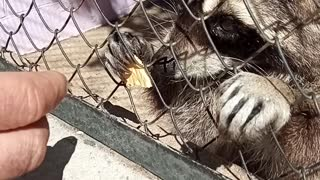 The attempt to escape the raccoon from the zoo failed