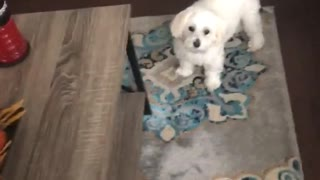 White dog runs around table avoiding owner doesnt want a bath