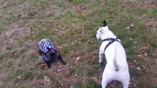 English bull terrier playing with French bulldog