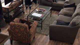 Three black dogs howl in a living room  - Video