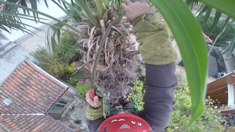 Fire Races Toward Arborist While Working From Top Of Palm Tree