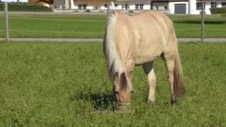 (VIDEO) Breathtaking View – Must Watch This Amazing Norwegian Fjord Horses! - Video