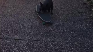 Frenchie on skateboard  - Video
