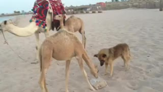 Camel and dog are friends and eating together  - Video