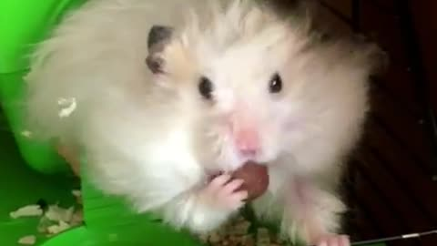 Hamster fits insane number of treats inside mouth