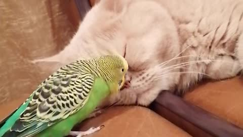 Clingy parrot won't stop talking to sleeping cat