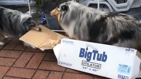 Dog pulls another dog in cardboard