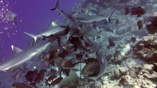 Massive gathering of silver tip sharks engage in feeding frenzy