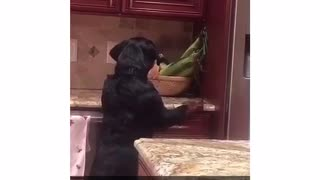 Dog on counter barks at corn - Video