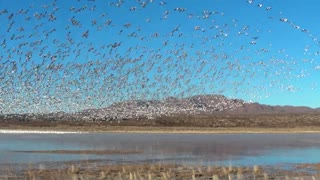 Snow Geese Take Flight in Bosque del Apache - Video