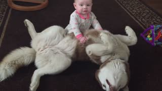 Siberian Husky playing gently with 7-month-old baby