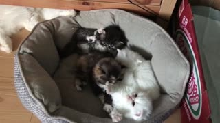 kittens playing with mom  - Video