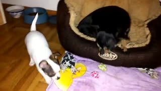 chihuahua dog puppy wants moms milk very cute
