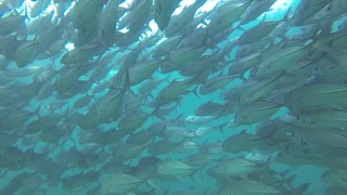 Scuba Diver Swims Among Massive School Of Fish - Video