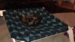 Chrissy bunny-kicks her tail. So cute!  - Video