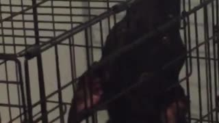Black dog inside cage sticks nose out of it  - Video