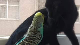 Kitty and Budgerigar Best Friends