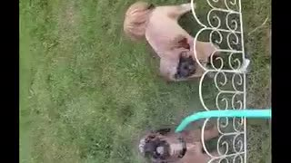 Brown puppie like getting water sprayed on them  - Video
