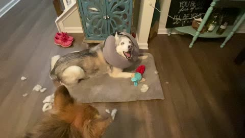 Stubborn Husky pleads his defense after destroying brother's toy