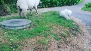 Dog and Rescued Sheep Become Best Friends