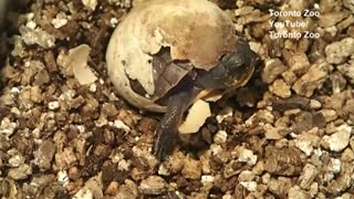 Threatened Blanding's turtle hatches at Toronto Zoo - Video