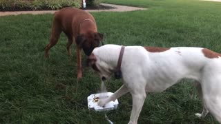 Boxers use teamwork to drink from water fountain toy