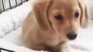 Curious puppy at home