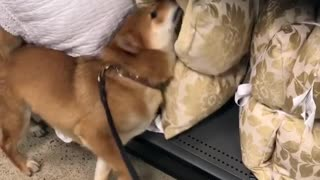 Shiba Inu thinks he's a professional pillow inspector - Video
