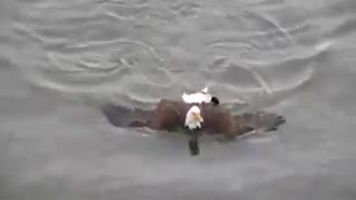 Bird Eagle swim in water - Video