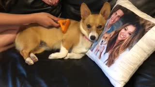Corgi Being Pampered