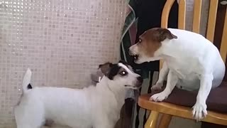 Female Dog Gives 'Husband' Piece Of Her Mind - Video