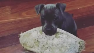Puppy carrying ball tries to jump on couch, can't quite make it - Video