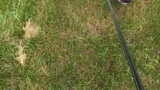 Tired white dog dragged by leash grass - Video