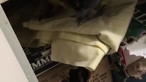 Sam the macaw plays hide and seek