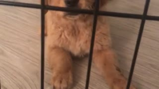 Small golden puppy in cage barks and walks around  - Video