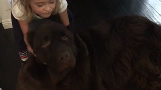 Little girl stopped from leaving by her huge puppy - Video