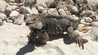 Iguana loving loaf  - Video