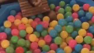 Ferret diving into ball pit
