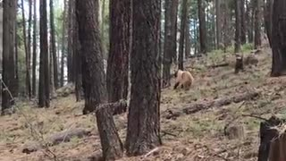 Momma Elk Saves Baby From Bear Cub - Video