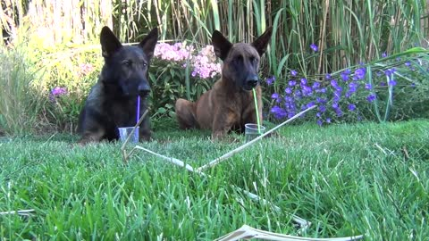 Two dogs relaxing in the garden and take a drink