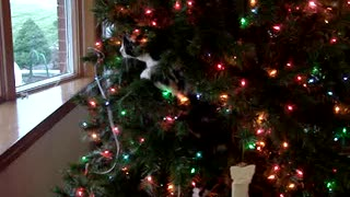 Cat makes Christmas tree her own personal play toy