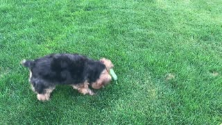 Yorkshire Terrier Begs For Cucumber Then Attacks It - Video