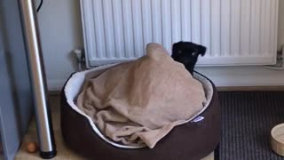 Puppy gets lost in bed - Video