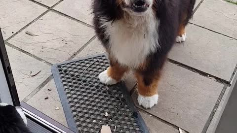 Two Bernese Mountain Dogs cannot decide if they want to be in or out