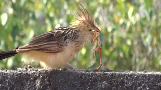 Guira Cuckoo Bird Gets A Frog For Lunch - Video